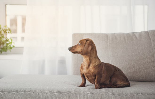 Are Dachshund good apartment dogs