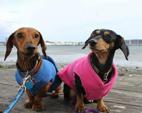 Dachshund Clothes That Actually Fit Dachshund Central