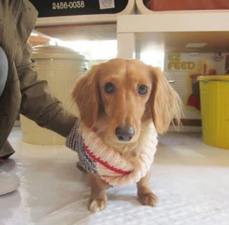 sweater for dachshunds