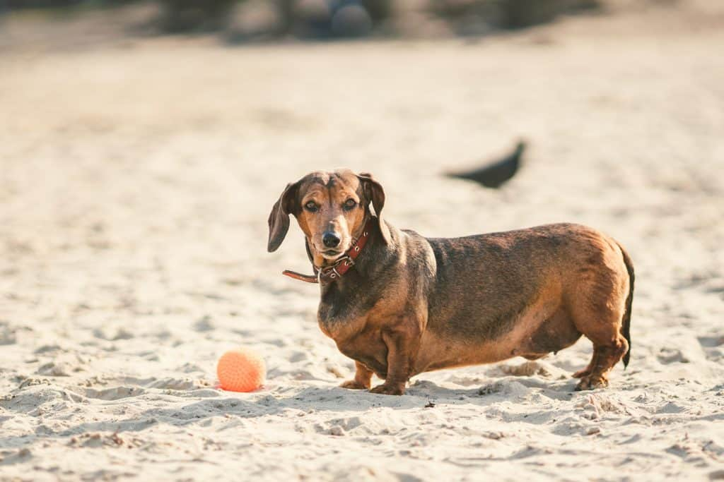 An old fat little brown dachshund dog plays with a rubber red ball on a sandy beach in sunny weather