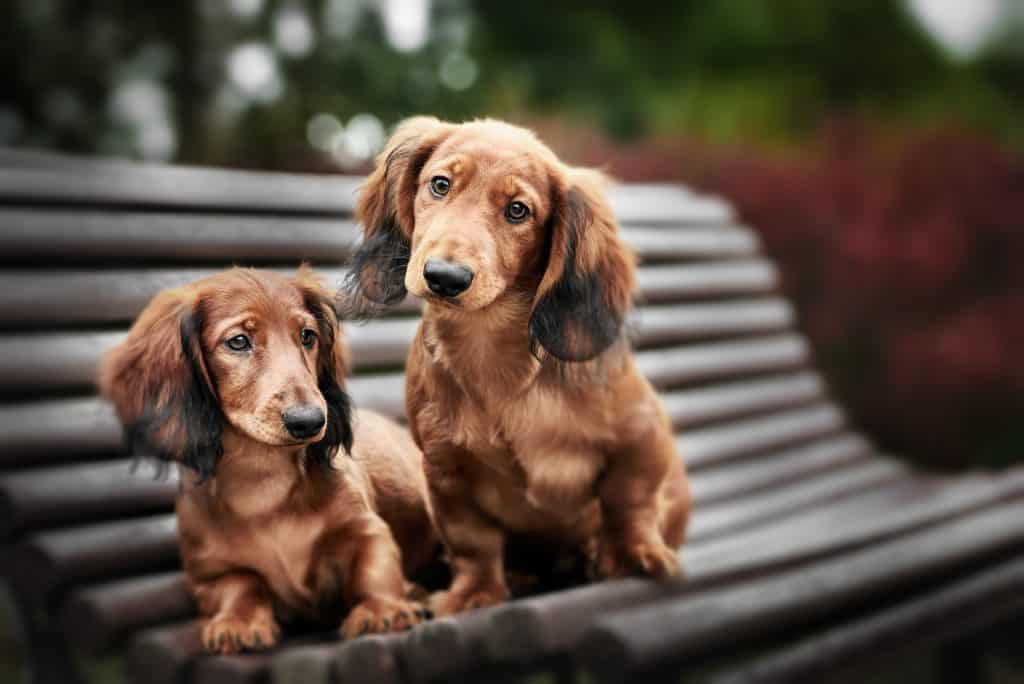 are dachshunds better in pairs
