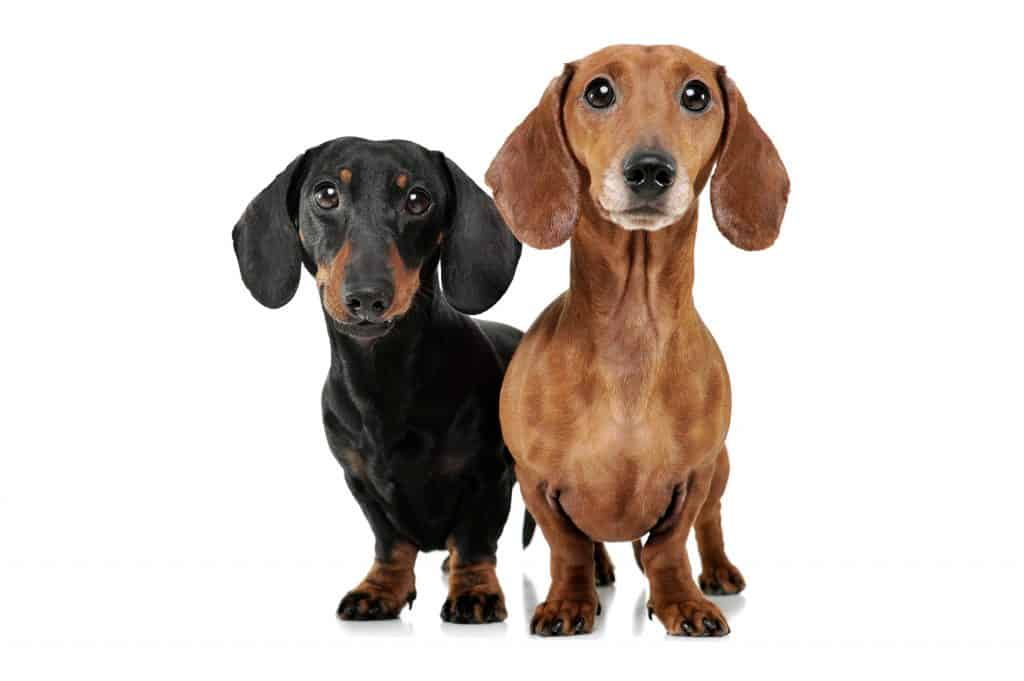 are dachshunds better in pairs 3
