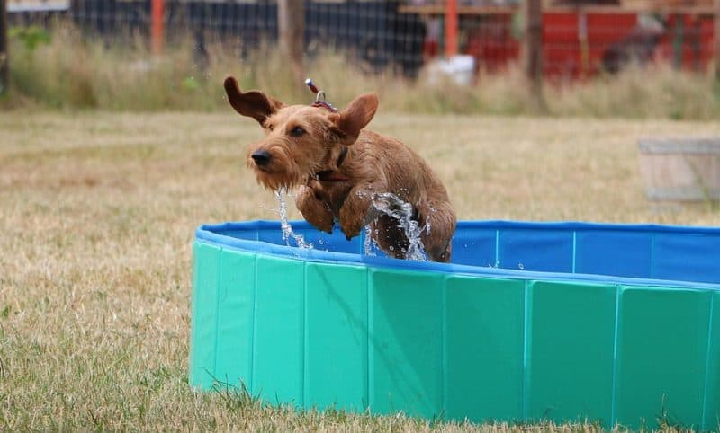 dachshunds can jump more than you imagine