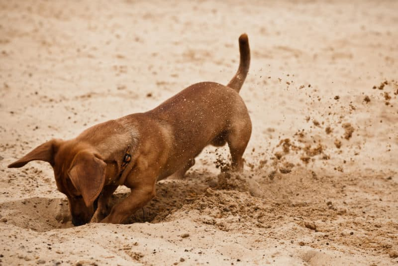 Dachshunds love digging your garden