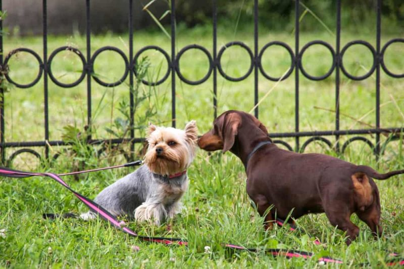 How do I socialize my dachshund with other dogs?