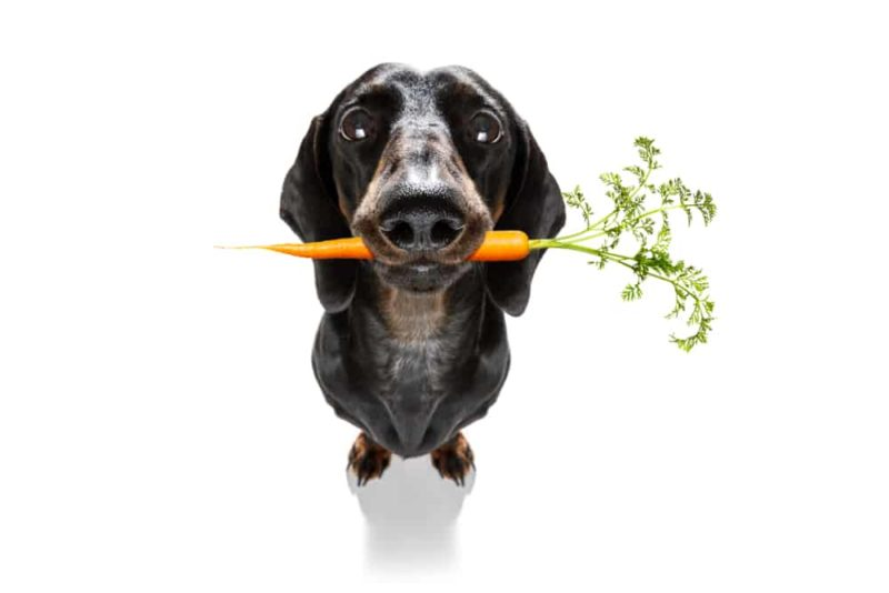 Is it safe for dachshunds to be vegan